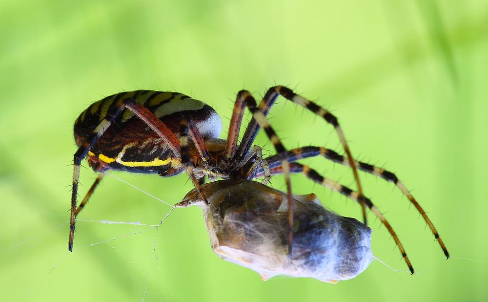 Wespenspinne mit Wespe