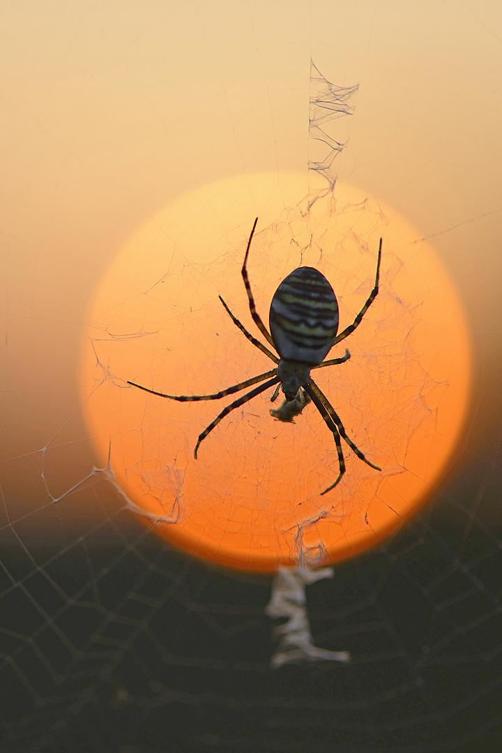 Wespenspinne vor untergehender Sonne