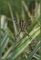 Wespenspinnen-Spinnerei