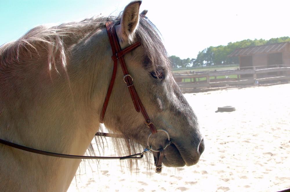 West Highland Pony