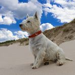 West Highland White Terrier am Strand