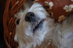 West Highland Winterschlaf Terrier