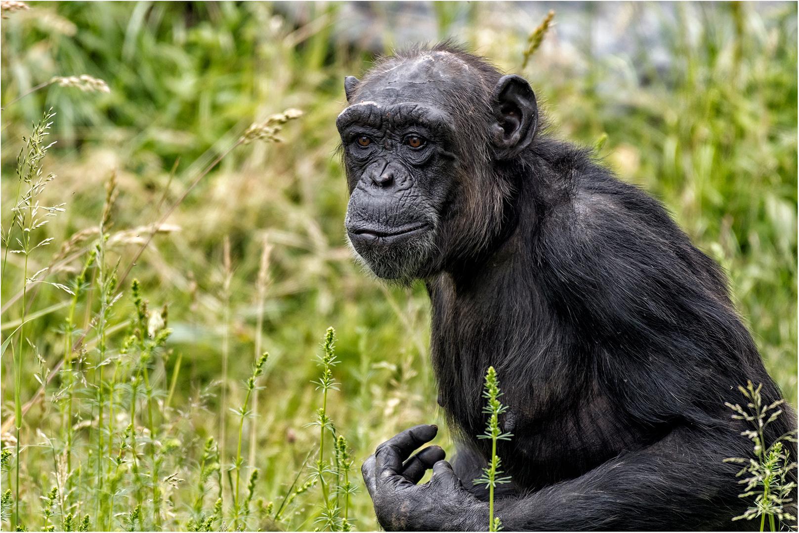 Bilder Von Schimpansen