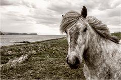 Westcoast horse...