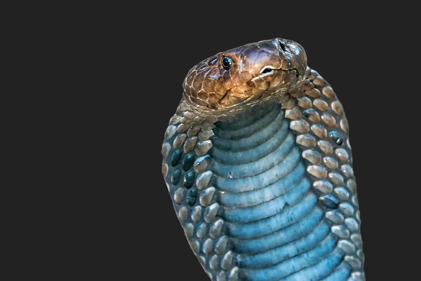 Western Barred Spittung Cobra...