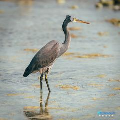 Western Reef-Heron