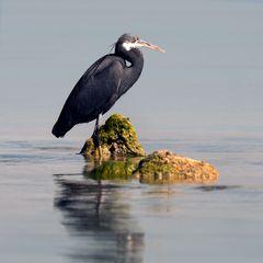 Western Reef-Heron (Dark morph)