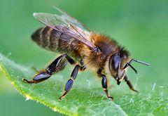 Westliche Honigbiene (Apis mellifera) - Abeille domestique.