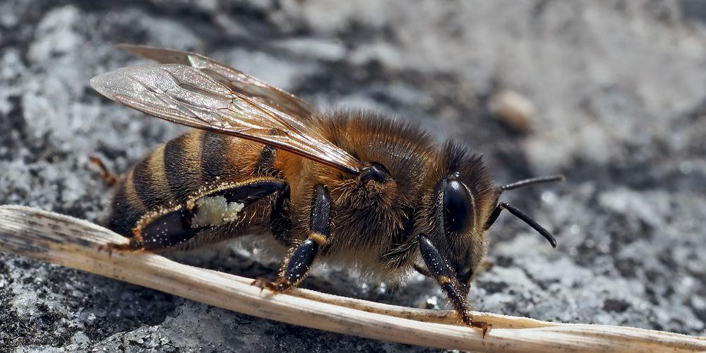 Westliche Honigbiene (Apis mellifera) -  Abeille européenne.