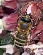 Westliche Honigbiene (Apis mellifera) - Une abeille!