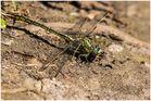 Westliche Keiljungfer(Gomphus pulchellus)