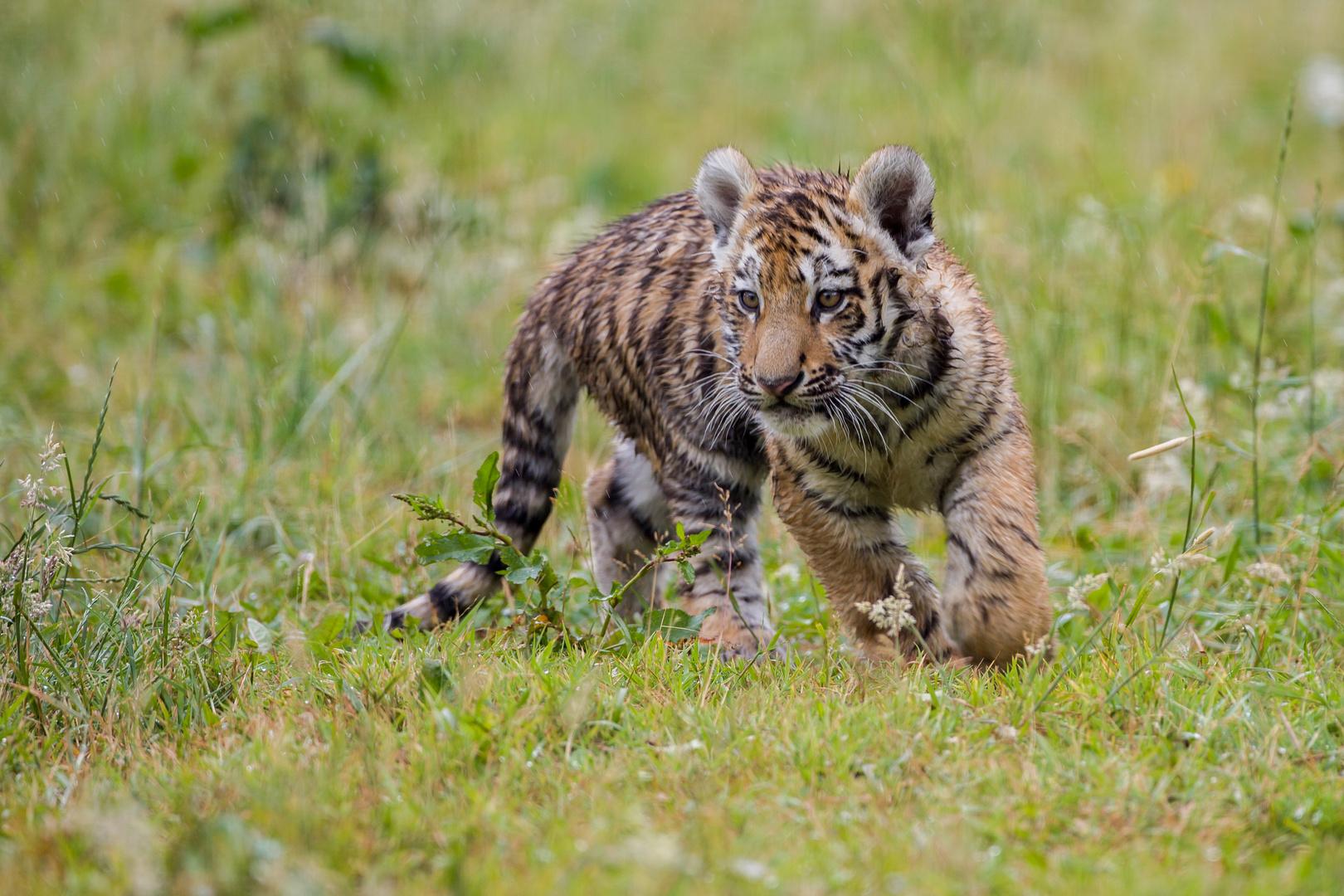 wet tiger cub