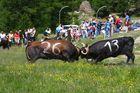 Wettkampf der Waliser Kühe