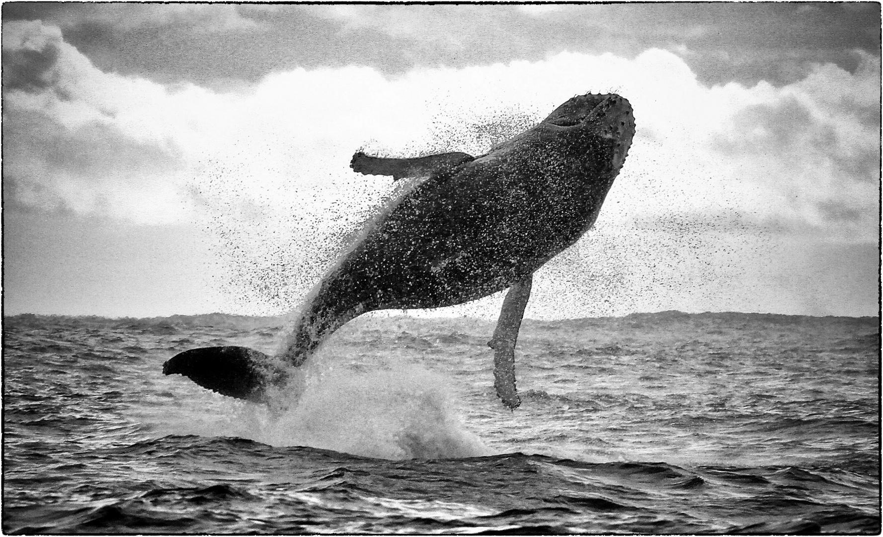 whale migration