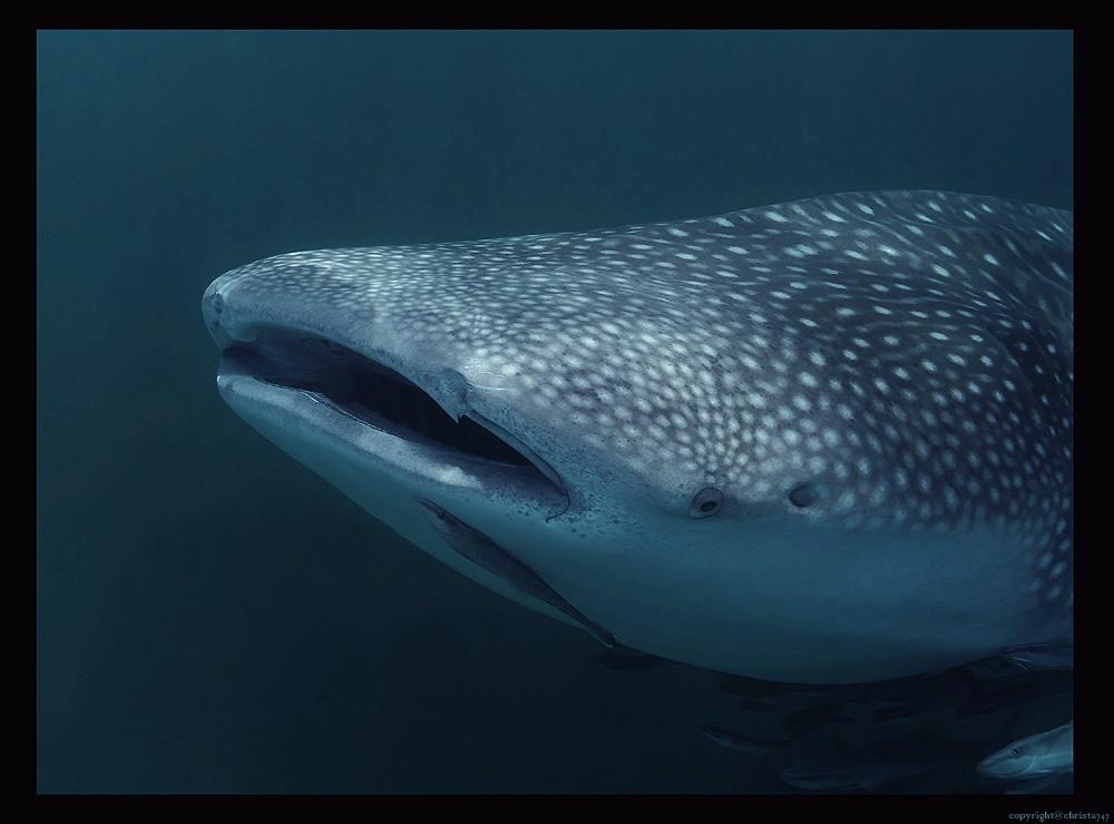 Whale shark love