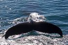 Whale Watching in der Bay of Fundy (1)