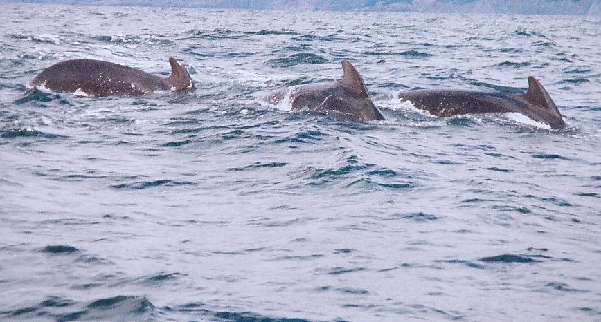 Whales in the Pleasant-Bay / Nova Scotia
