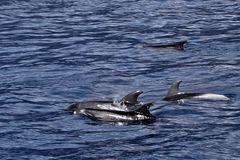 Whalewatching: Delphine in der Masca Bucht