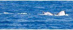 Whalewatching vor Maui