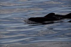 Whalewatching: Wale in der Masca Bucht