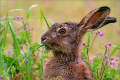 What are you looking at? Never seen a hare eating?