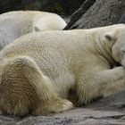 Where is the snow for this Polar Bear?