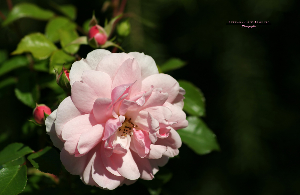 """""""Where the wild Roses 1"""""""