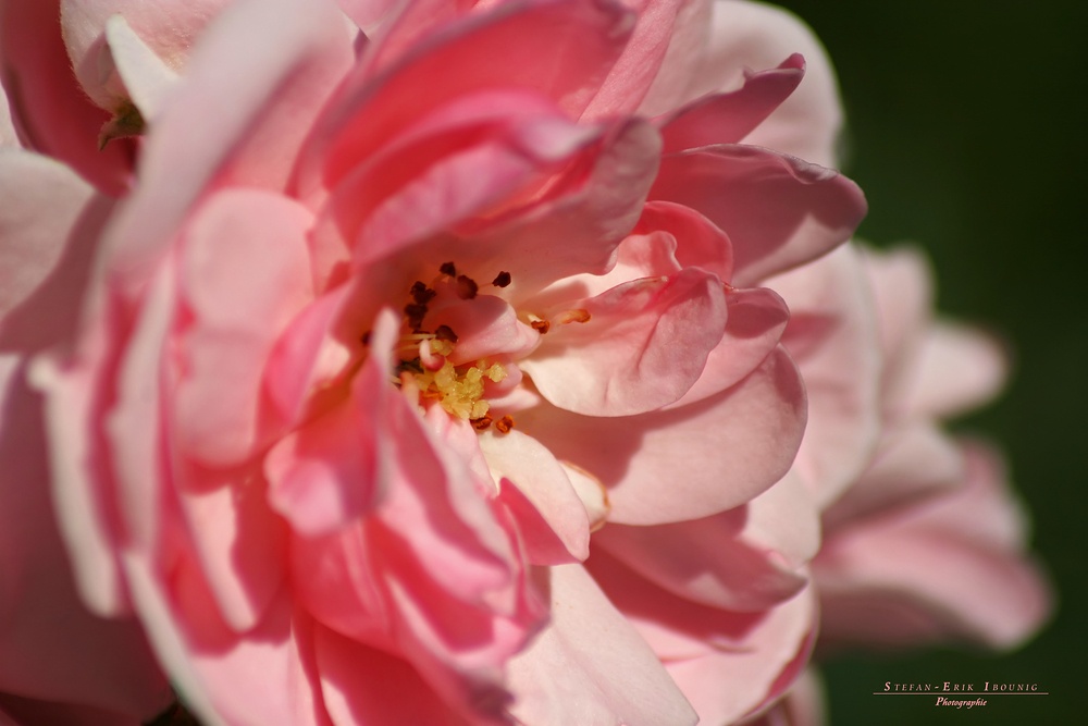"""""""Where the wild Roses 2"""""""