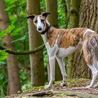 Whippet - ein kleiner englischer Windhund
