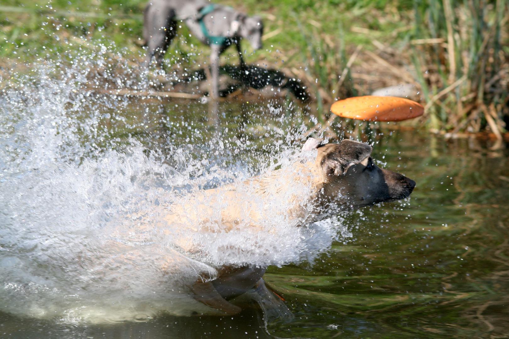 Whippet Helvetio: Auch im Wasser schneller als die Frisbeescheibe