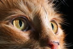 Whisker Norwegische Waldkatze