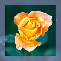 Whiskey - Rose