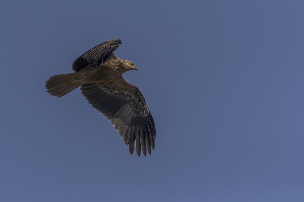 Whistling Kite (juv)