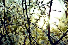 White Blossom in sun
