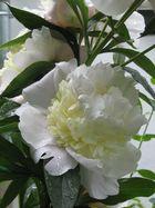 White Blume