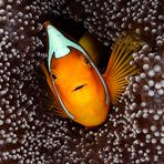 White Bonnet Clownfish (Amphiprion leucokranos)