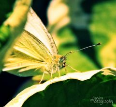 White Butterfly No. Two