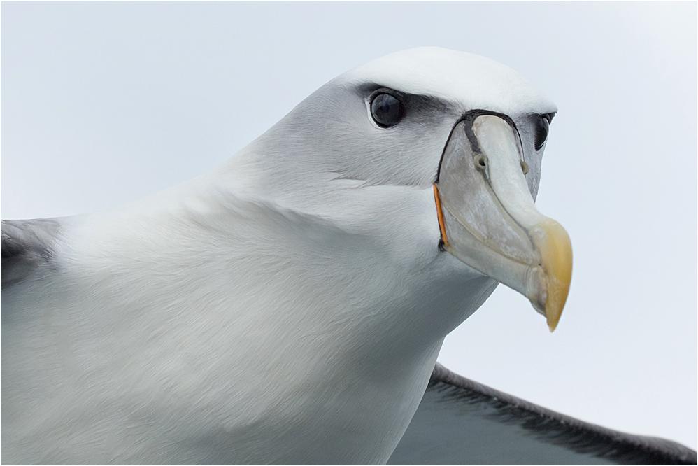 [ White-capped albatross ]