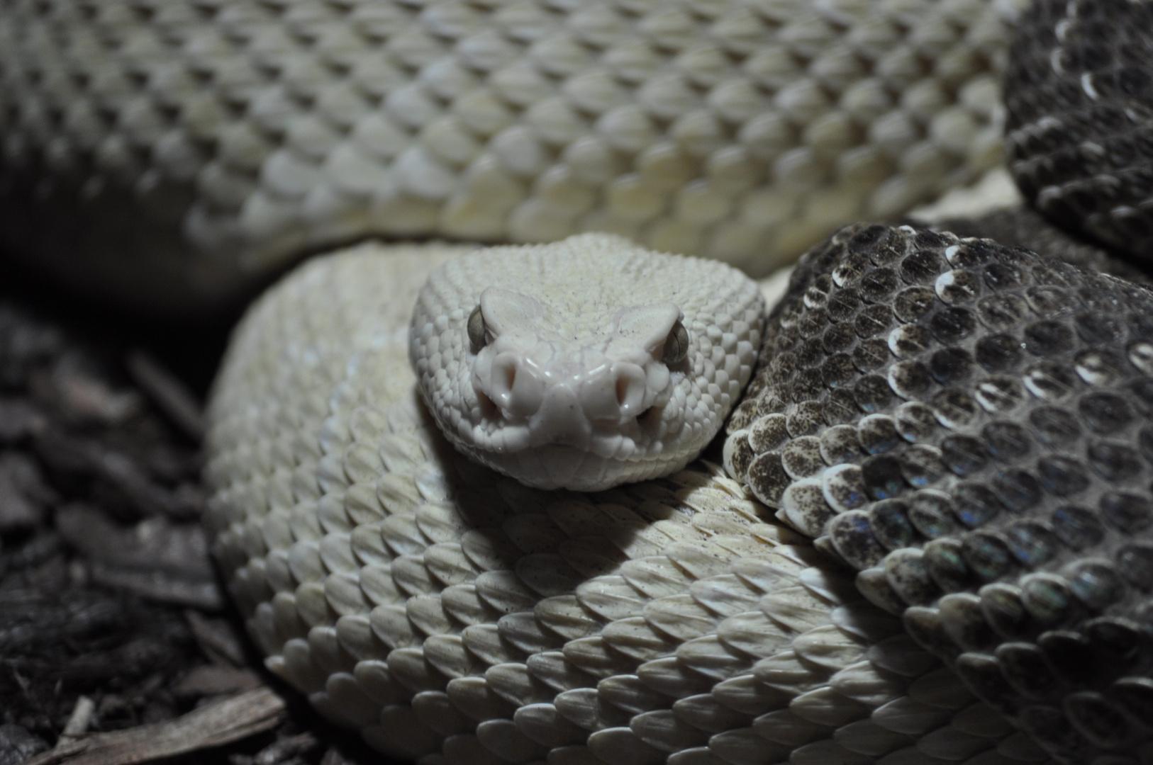 White Cobra