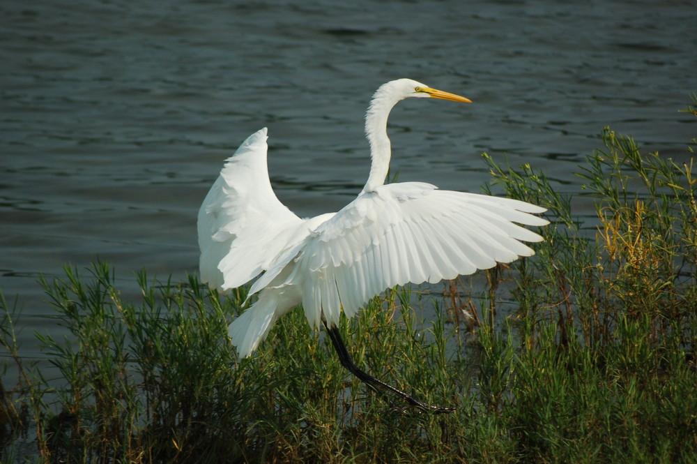 white crane (color)