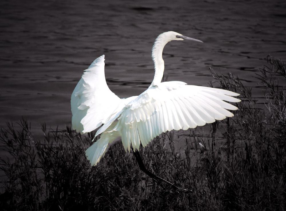 white crane(black and white)