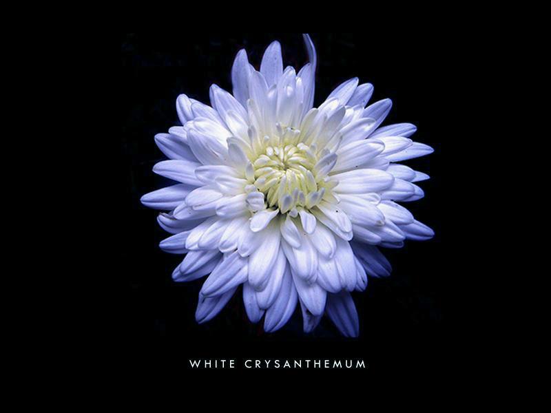 | white crysanthemum |