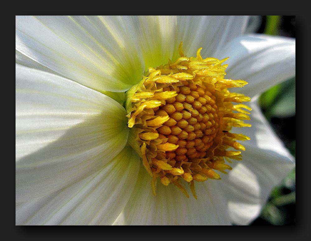 White dahlia with a yellow core