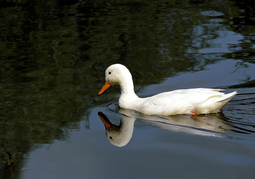 White duck floating