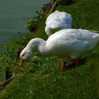 White geese eating green grass