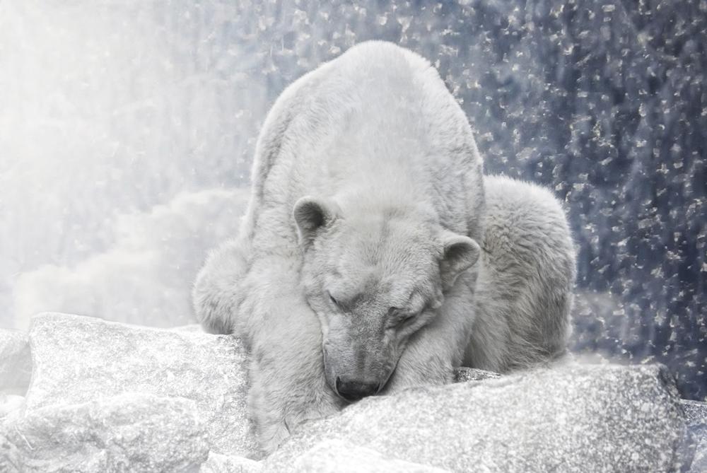white giant sleeping