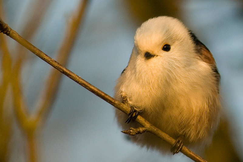 White-headed long-tailed Tit (Aegithalos caudatus caudatus)