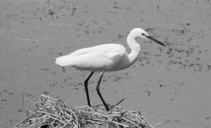 White Heron - B/W