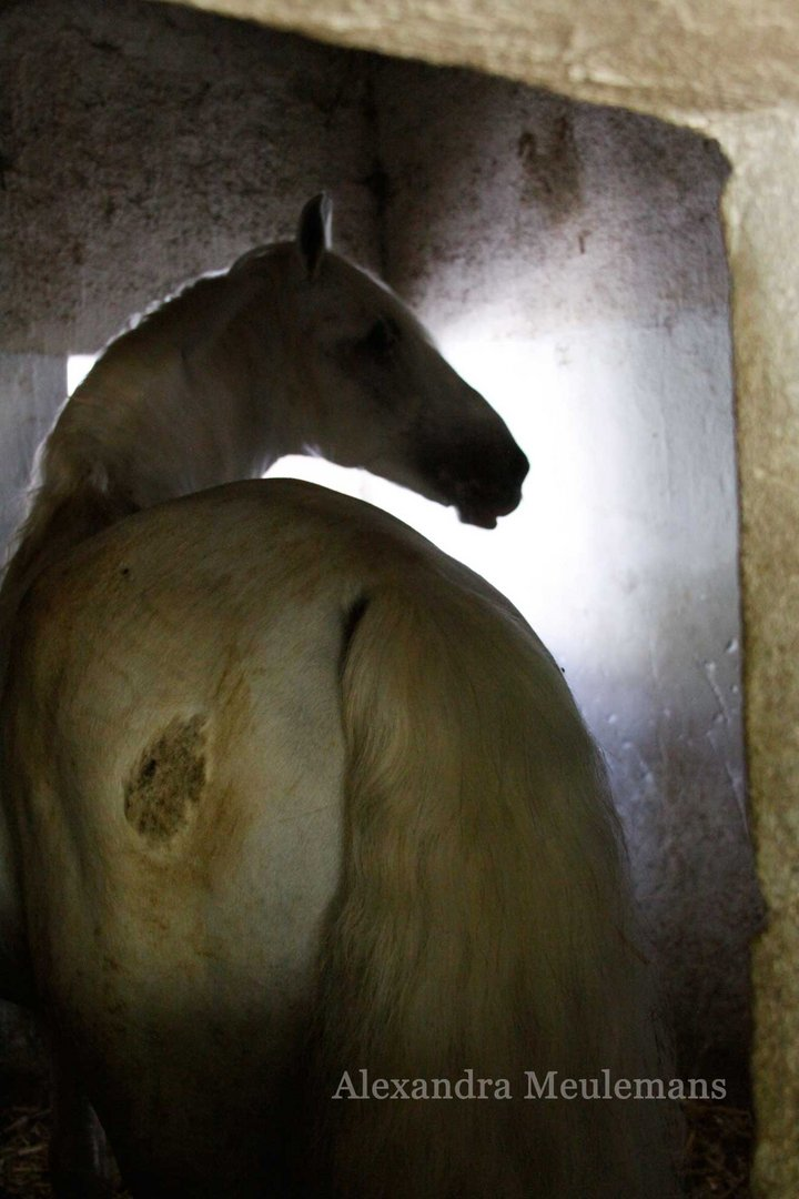 White horse in his boxe