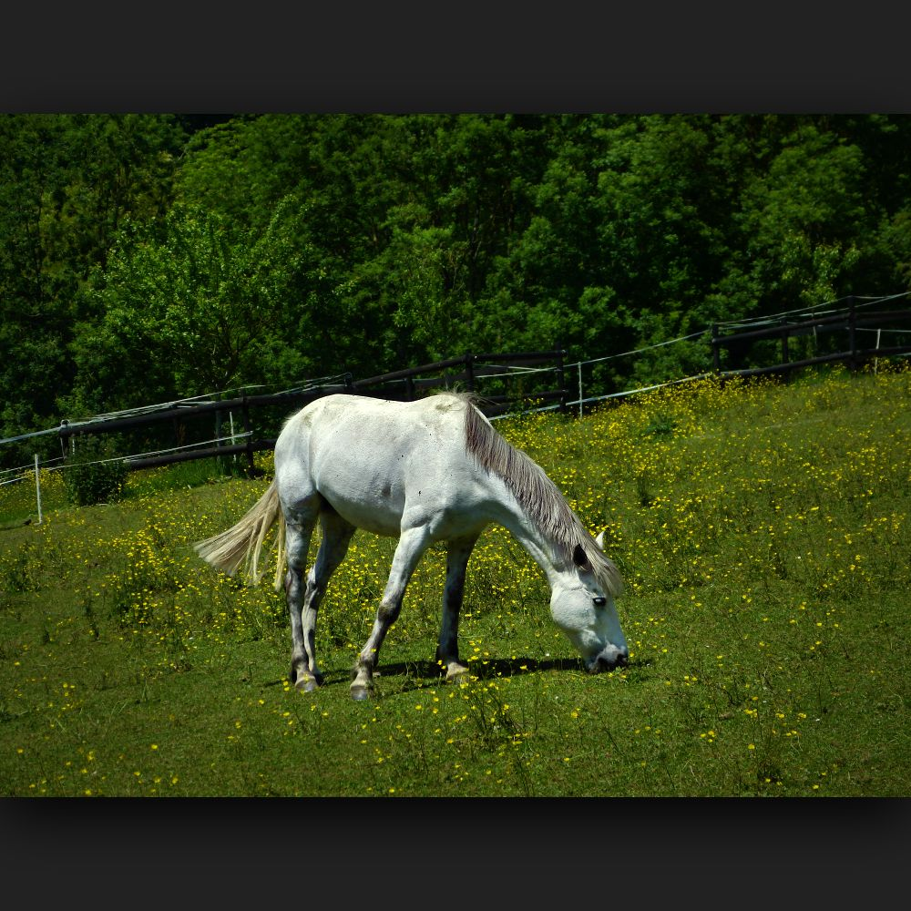 White horse on a green meadow